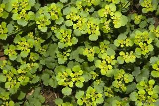 Chrysosplenium alternifolium - Wechselblättriges Milzkraut (WEQ)