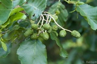 Alnus glutinosa - Schwarzerle