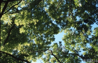 Fraxinus excelsior - Gemeine Esche