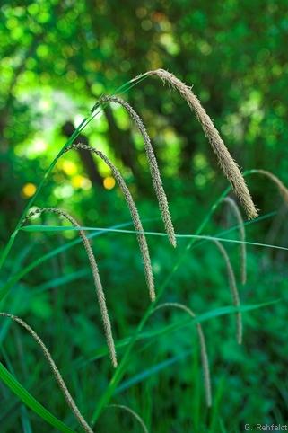 Carex pendula - Hänge-Segge (WEQ)