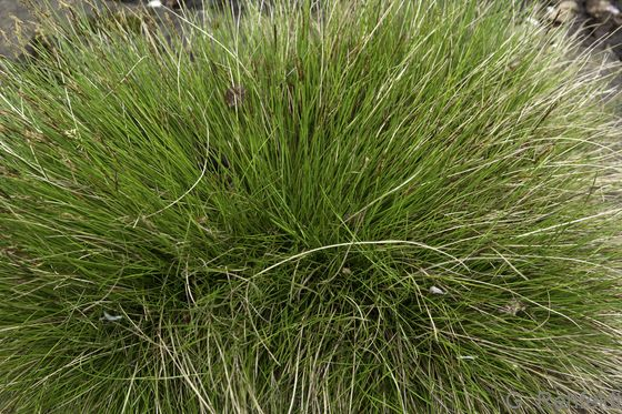 Carex appropinquata - Schwarzschopf-Segge