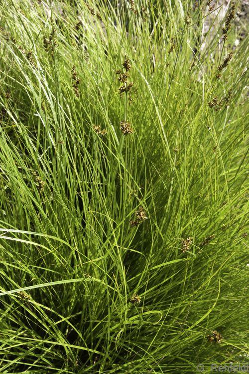Carex elongata - Walzensegge