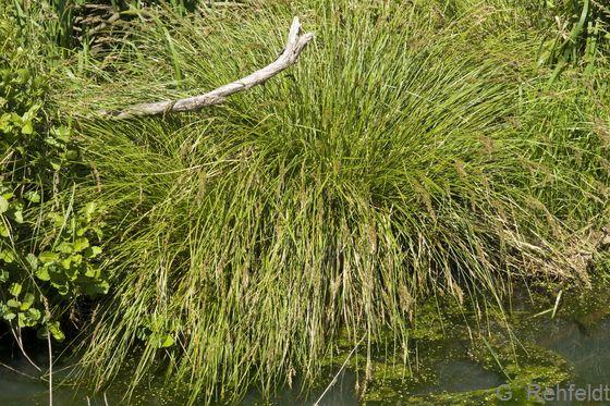 Carex paniculata - Rispen-Segge