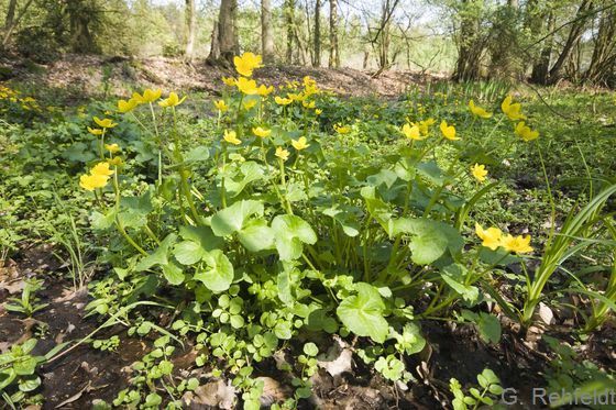 Caltha palustris - Sumpfdotterblume (WAR)