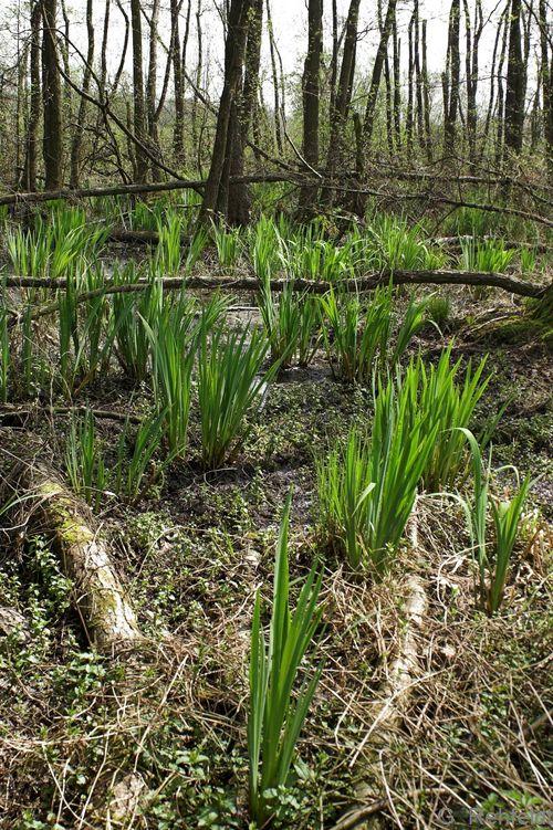 Iris pseudacorus - Sumpf-Schwertlilie (WAR)