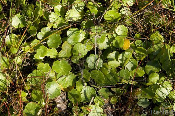 Hydrocotyle vulgaris - Gewöhnlicher Wassernabel (WAT)