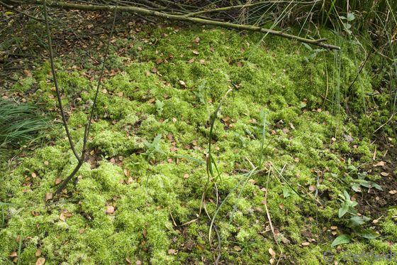 Sphagnum squarrosum - Sparriges Torfmoos (WAT, WAB)