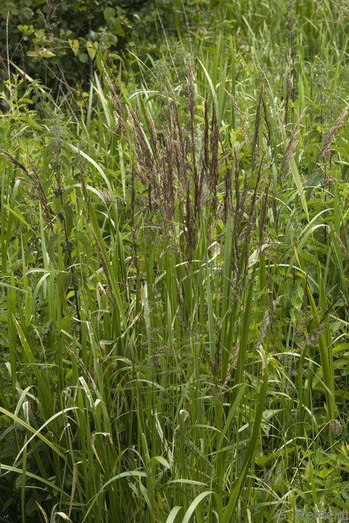 Calamagrostis canescens - Sumpf-Reitgras