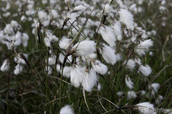 Eriophorum angustifolium - Schmalblättriges Wollgras