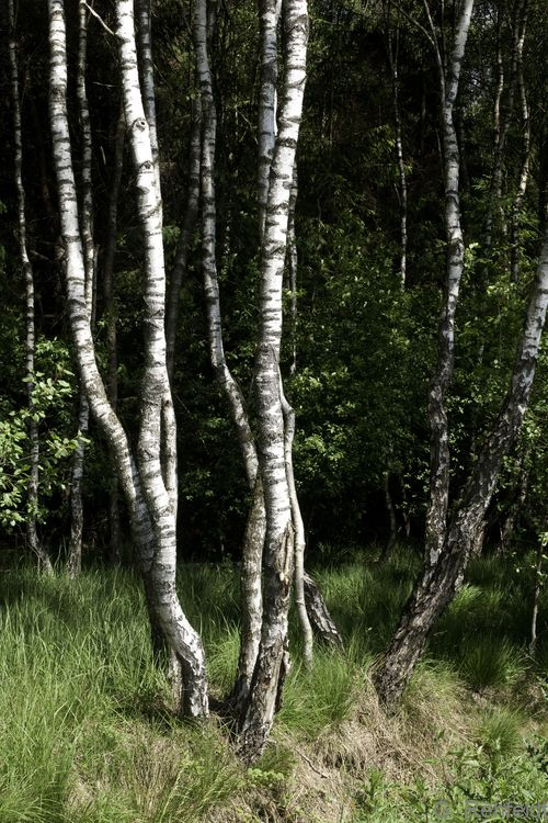 Betula pubescens ssp. pubescens - Moorbirke