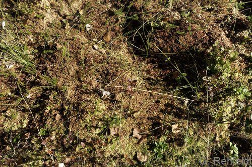 Sphagnum magellanicum - Mittleres Torfmoos (WBA)