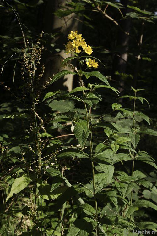 Lysimachia vulgaris - Gewöhnlicher Gilbweiderich (WBM)