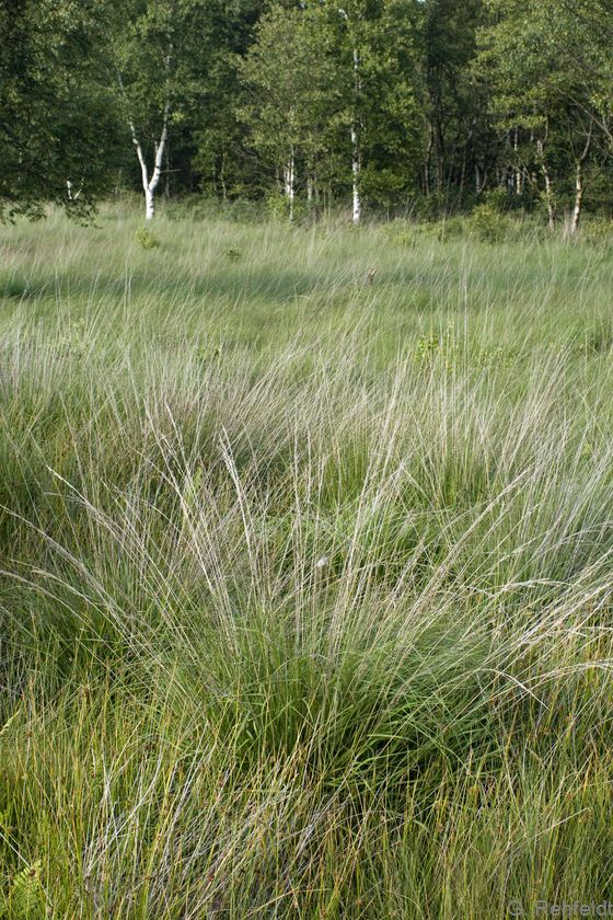 Molinia caerulea - Pfeifengras (WVP)