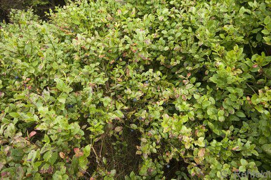 Vaccinium myrtillus - Heidelbeere (WVZ)