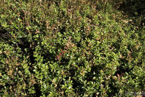 Vaccinium vitis-idaea - Preiselbeere (WVZ)