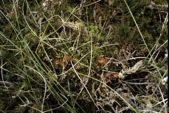 Drosera rotundifolia - Rundblättriger Sonnentau (WOH)