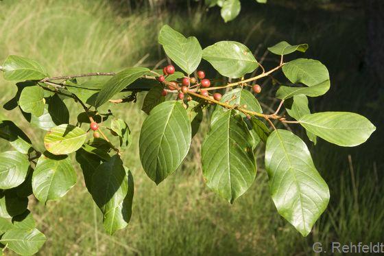 Rhamnus frangula - Faulbaum