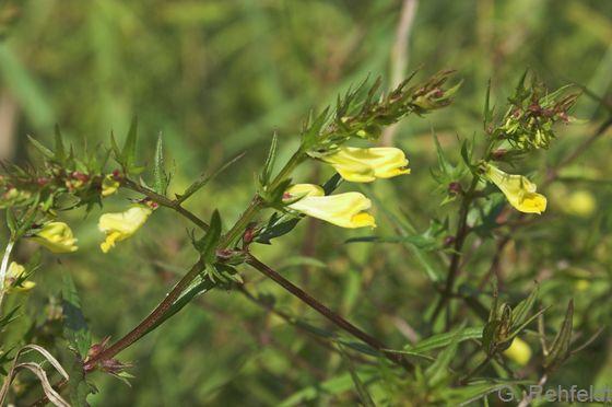 Melampyrum pratense - Gewöhnlicher Wiesen-Wachtelweizen
