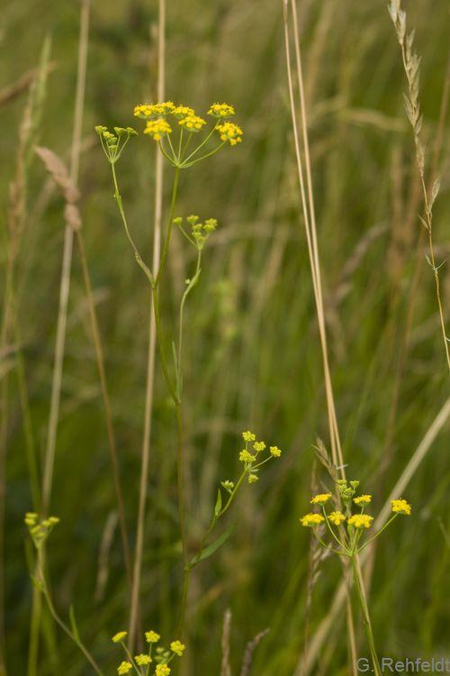 Bupleurum falcatum - Sichelblättriges Hasenohr (WRT)