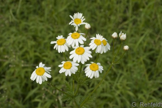 Tanacetum corymbosum - Straußblütige Wucherblume (WRT)