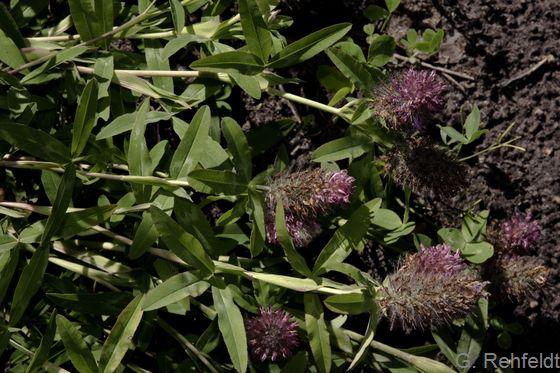 Trifolium medium - Mittlerer Klee (WRM)