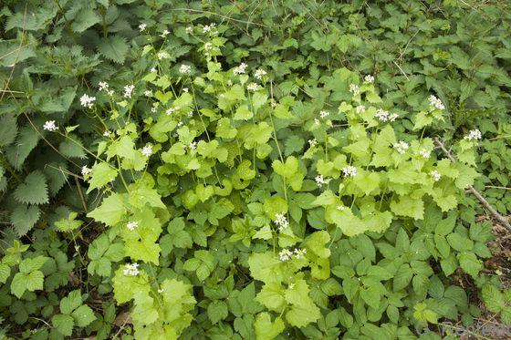 Alliaria petiolata - Knoblauchsrauke (WRM)