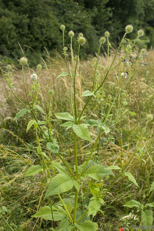 Dipsacus pilosus - Behaarte Karde (WRM)