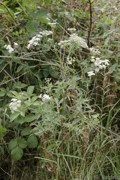 Torilis japonica - Gewöhnlicher Klettenkerbel (WRM)
