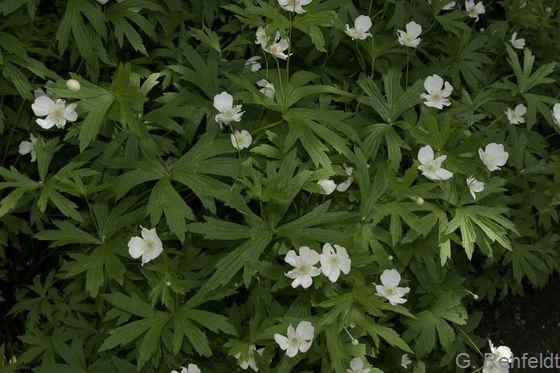 Anemone nemorosa - Buschwindröschen