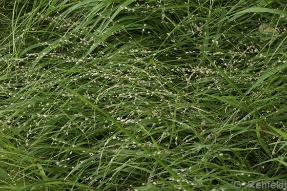 Melica uniflora - Einblütiges Perlgras