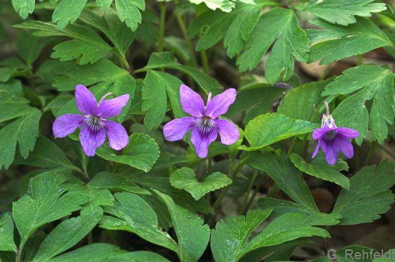 Viola reichenbachiana - Wald-Veilchen
