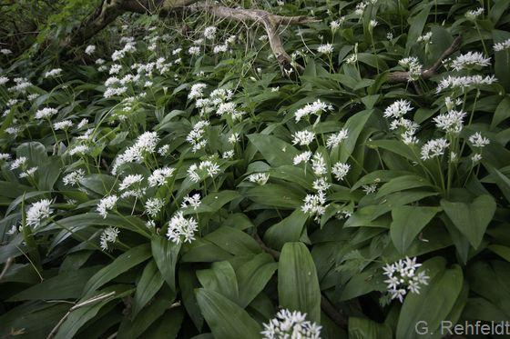 Allium ursinum - Bärlauch (WMK)