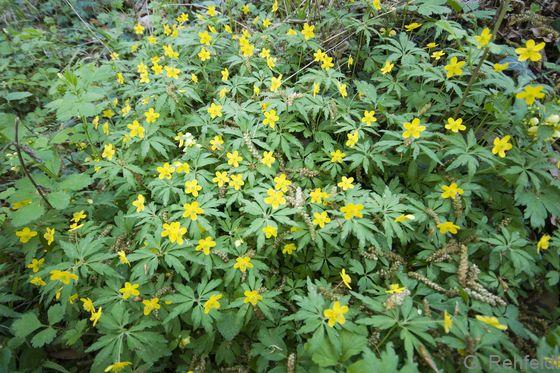 Anemone ranunculoides - Gelbes Windröschen (WMK)