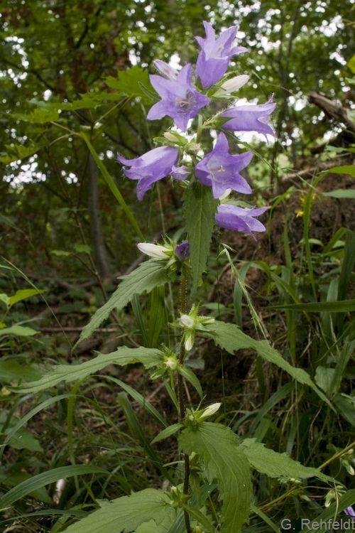 Campanula trachelium - Nesselblättrige Glockenblume (WMK)