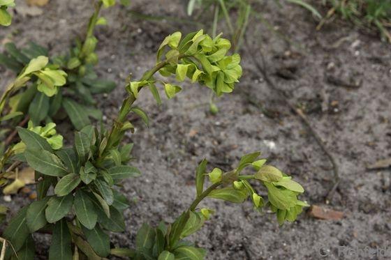 Euphorbia amygdaloides - Mandelblättrige Wolfsmilch (WMK)