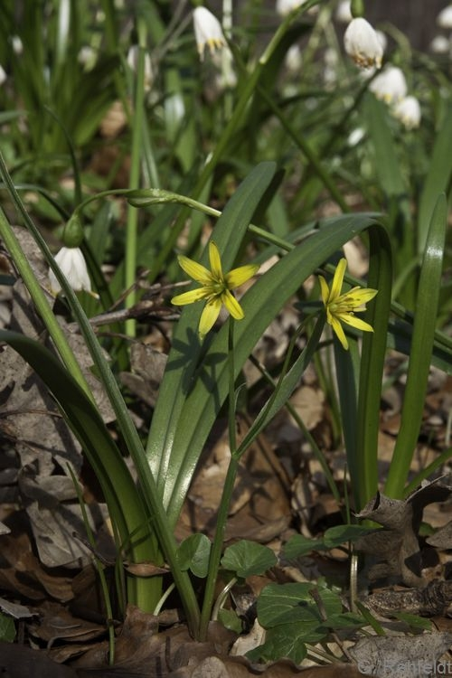 Gagea lutea - Wald-Gelbstern (WMK)