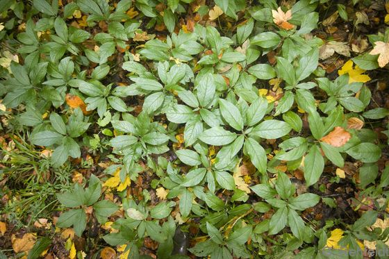 Mercurialis perennis - Wald-Bingelkraut (WMK)