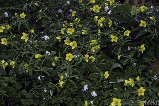 Ranunculus auricomus agg. - Gold-Hahnenfuß (WMK)