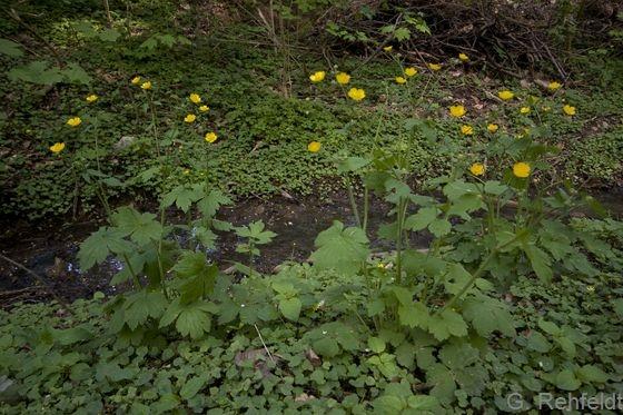 Ranunculus lanuginosus - Woll-Hahnenfuß (WMK)