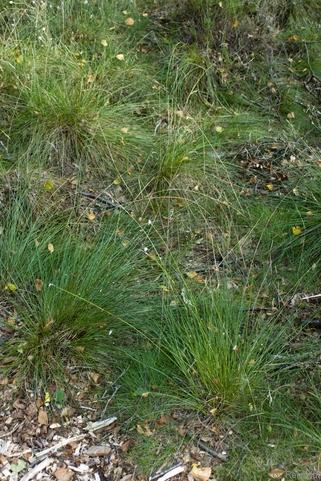 Deschampsia flexuosa - Drahtschmiele