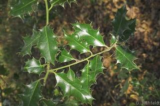 Ilex aquifolium - Stechpalme