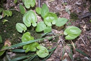 Maianthemum bifolium - Schattenblümchen
