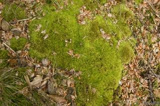 Dicranella heteromalla - Sicheliges Kleingabelzahnmoos