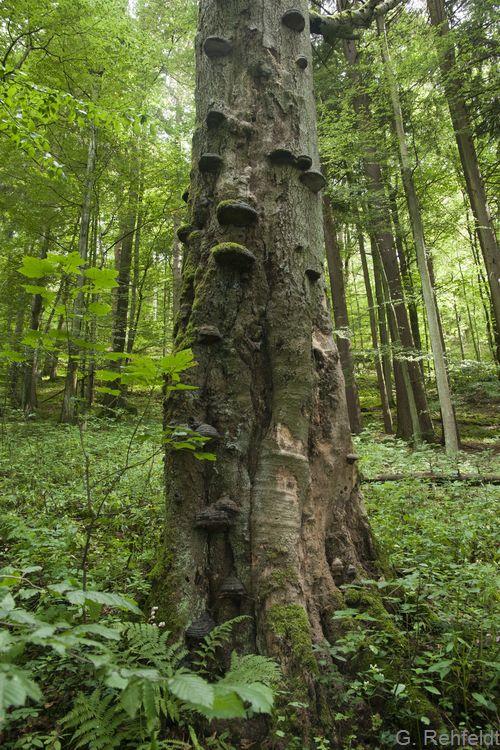 Fagus sylvatica - Rotbuche, Totholz