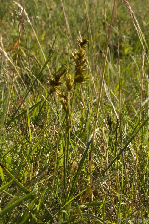 Carex pilulifera - Pillen-Segge
