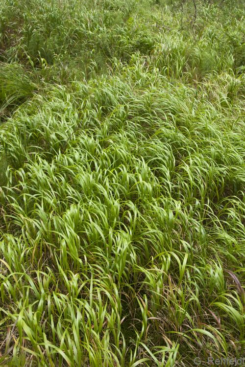Calamagrostis villosa - Wolliges Reitgras (WLF)