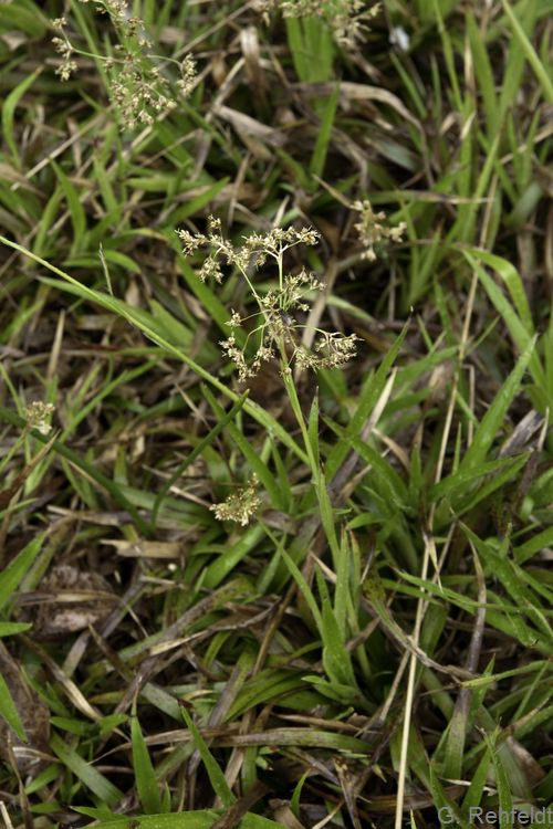 Luzula sylvatica - Wald-Hainsimse