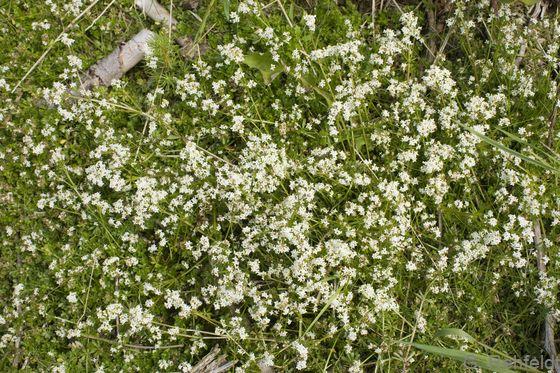 Galium saxatile - Harzer Labkraut