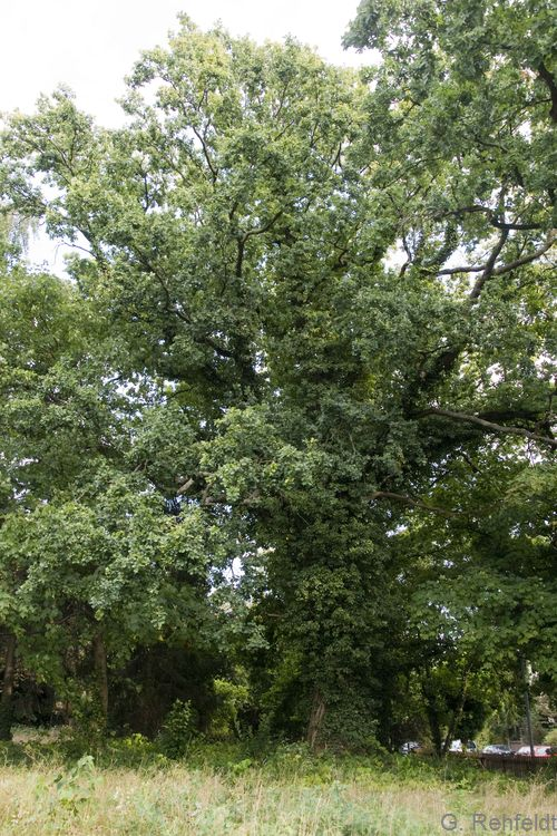 Quercus robur - Stieleiche