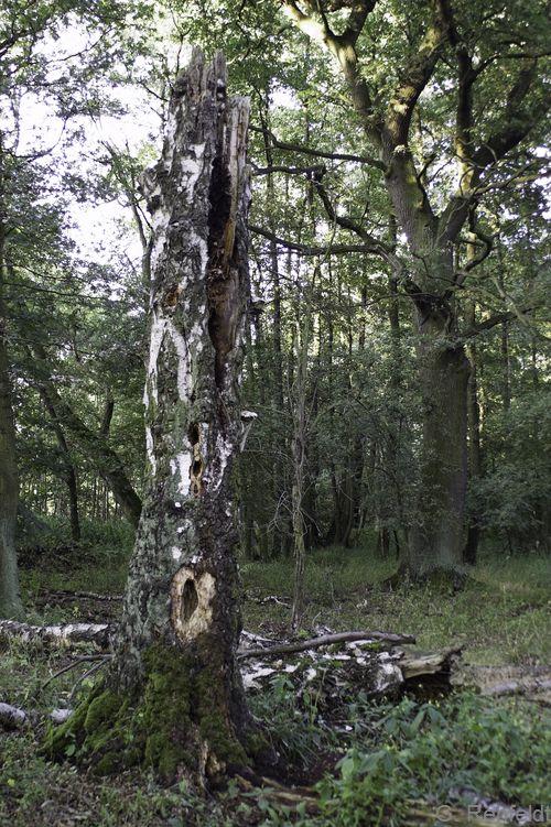 Betula pendula - Hängebirke, Totholz